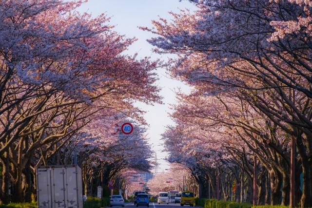 調布市の桜並木